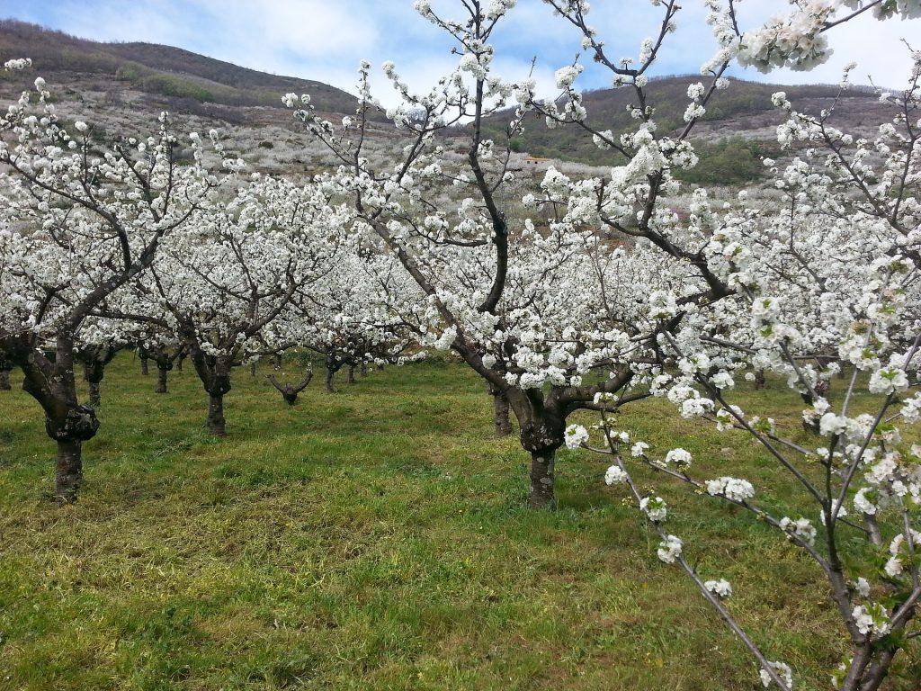 Cerezos en flon en el valle del Jerte Extremadura